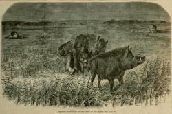 Boar Hunt on the River Tigris